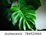 dark green leaves of monstera ... | Shutterstock . vector #786923464