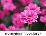 Chrysanthemum Prius Splendid...