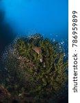 Small photo of Giant Moray (Gymnothorax Javanicus) and Glassfish (Ambassidae) in a Black Sun Coral (Tubastrea Micrantha)