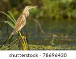 squacco heron on reed | Shutterstock . vector #78696430