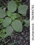 Small photo of Amaranth. Amaranthus. Annual herbaceous plant. Green leaves. Vertical