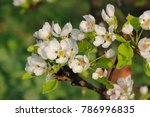flowering branch of a pear on a ... | Shutterstock . vector #786996835