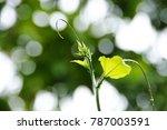 wet plant with blur bokeh...   Shutterstock . vector #787003591