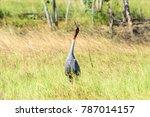 thai sarus crane calling in...   Shutterstock . vector #787014157
