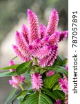celosia flamingo feathers pink... | Shutterstock . vector #787057891