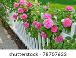 Stock photo pink roses climbing on white fence 78707623