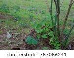 Oxalis Sp. Bush The Leaves...