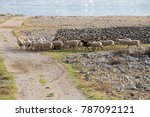 flock of sheep on desert...