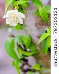 Small photo of White flowers, small and fragile, blossom flower of Moke (Wrightia religiosa)