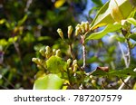 young green cloves on a tree...   Shutterstock . vector #787207579