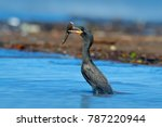 Cormorant With Fish. Dark Bird...