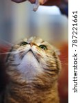 a cat  brown scottish fold ... | Shutterstock . vector #787221661