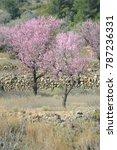 almond blossom  costa blanca  ... | Shutterstock . vector #787236331
