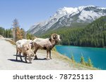 mountain bighorn sheep on lake...