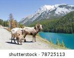 mountain bighorn sheep on lake...