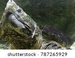Alligator Snapping Turtle...