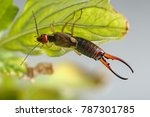 close up of earwig hanging on... | Shutterstock . vector #787301785