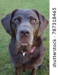 portrait of chocolate labrador...   Shutterstock . vector #787318465