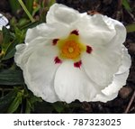 Small photo of Cistus (Alan Fradd)