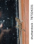Small photo of Boettger's wall gecko (Tarentola boettgeri) and photographer refelected in the window. Pajonales. Integral Natural Reserve of Inagua. Tejeda. Gran Canaria. Canary Islands. Spain.