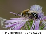 Small photo of Bee (Amegilla sp.) on a purple milk thistle (Galactites tomentosa). Integral Natural Reserve of Inagua. Tejeda. Gran Canaria. Canary Islands. Spain.