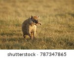 Small photo of A spotted or laughing hyena with a bone after feeding on a kill in Africa's Ngorongoro Conservation Area.