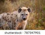 Small photo of A spotted or laughing Hyena on the Serengeti Plains