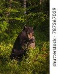 adult female black bear  ursus... | Shutterstock . vector #787367029