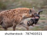 Small photo of A Spotted or laughing hyena running with a Wildebeest Head. Tanzania, Africa.