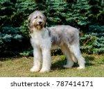 romanian shepherd dog full face.... | Shutterstock . vector #787414171