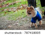 the wear  aggressive spitz dog... | Shutterstock . vector #787418005