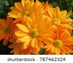 colorful chrysanthemum flower. | Shutterstock . vector #787462324