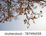 branch of blossoming bombax... | Shutterstock . vector #787496539