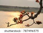 branch of blossoming bombax... | Shutterstock . vector #787496575