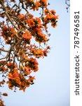 branch of blossoming bombax... | Shutterstock . vector #787496581