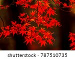 beautiful red maple leaves in... | Shutterstock . vector #787510735