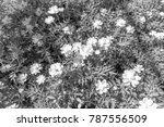 mexican aster  is style black...   Shutterstock . vector #787556509