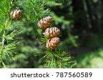 sprig of european larch  larix... | Shutterstock . vector #787560589