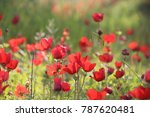 a spring bloom of  wild red... | Shutterstock . vector #787620481