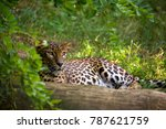 Ceylon Leopard Female Resting...