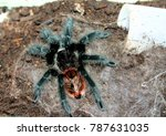 Small photo of Portrait of a bird spider called grammostola acteon