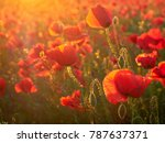beautiful blooming poppies in... | Shutterstock . vector #787637371