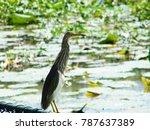 indian pond heron walking on... | Shutterstock . vector #787637389