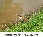 indian pond heron walking on... | Shutterstock . vector #787637395