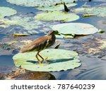 indian pond heron walking on... | Shutterstock . vector #787640239