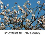 almond blossom  costa blanca  ... | Shutterstock . vector #787660009