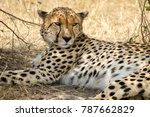 Small photo of Wild Tanzanian or East African Cheetah - Scientific name: Acinonyx jubatus raineyi syn. fearsoni - resting in the shadow. With its lightly built, slender form the cheetah is the fastest land animal.