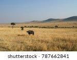 african buffalo or cape buffalo ... | Shutterstock . vector #787662841