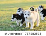 Stock photo siberian husky puppy playing on the grass with sunset 787683535