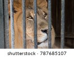 A Lion In A Cage Closeup.